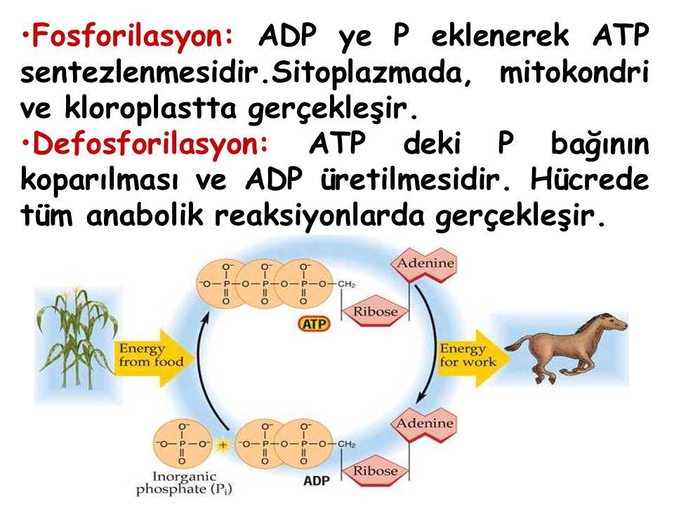 Fosforilasyon: ADP ye P eklenerek ATP sentezlenmesidir