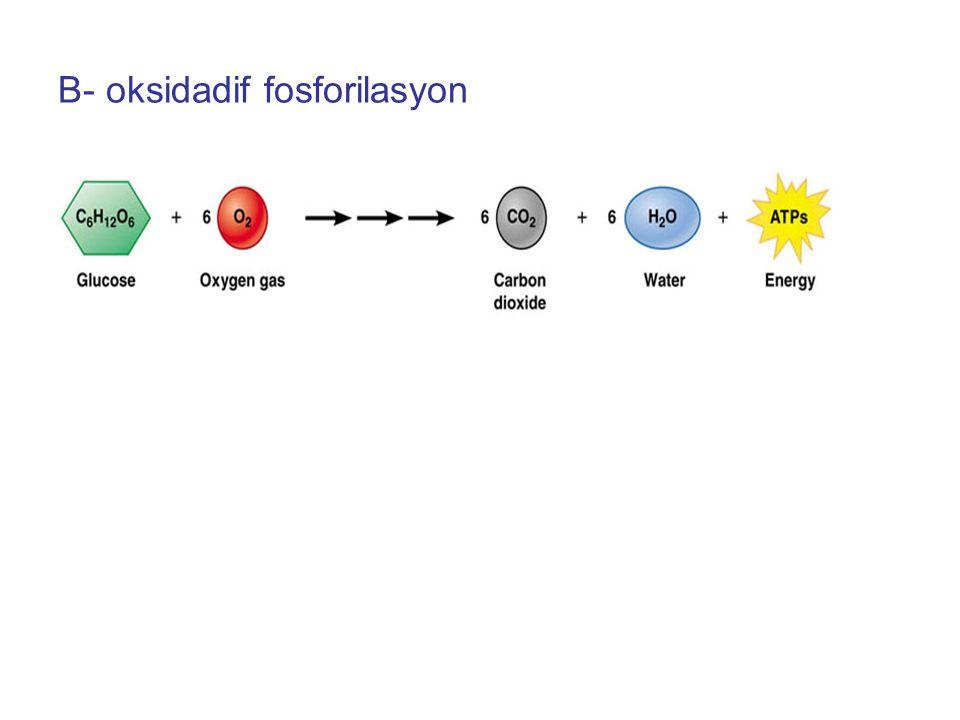 B- oksidadif fosforilasyon