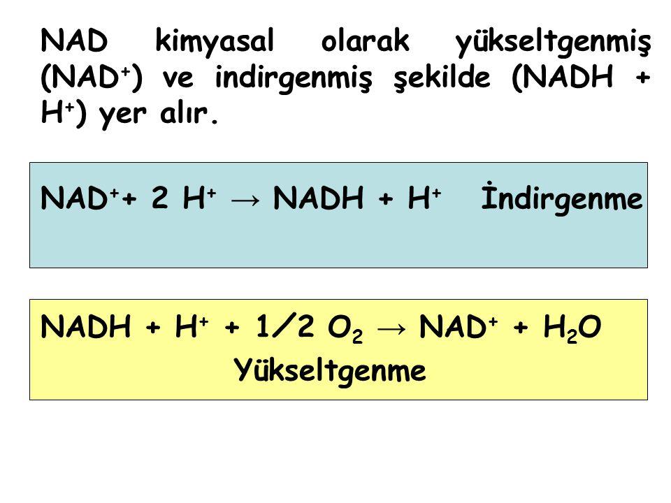 NAD kimyasal olarak yükseltgenmiş (NAD+) ve indirgenmiş şekilde (NADH + H+) yer alır.