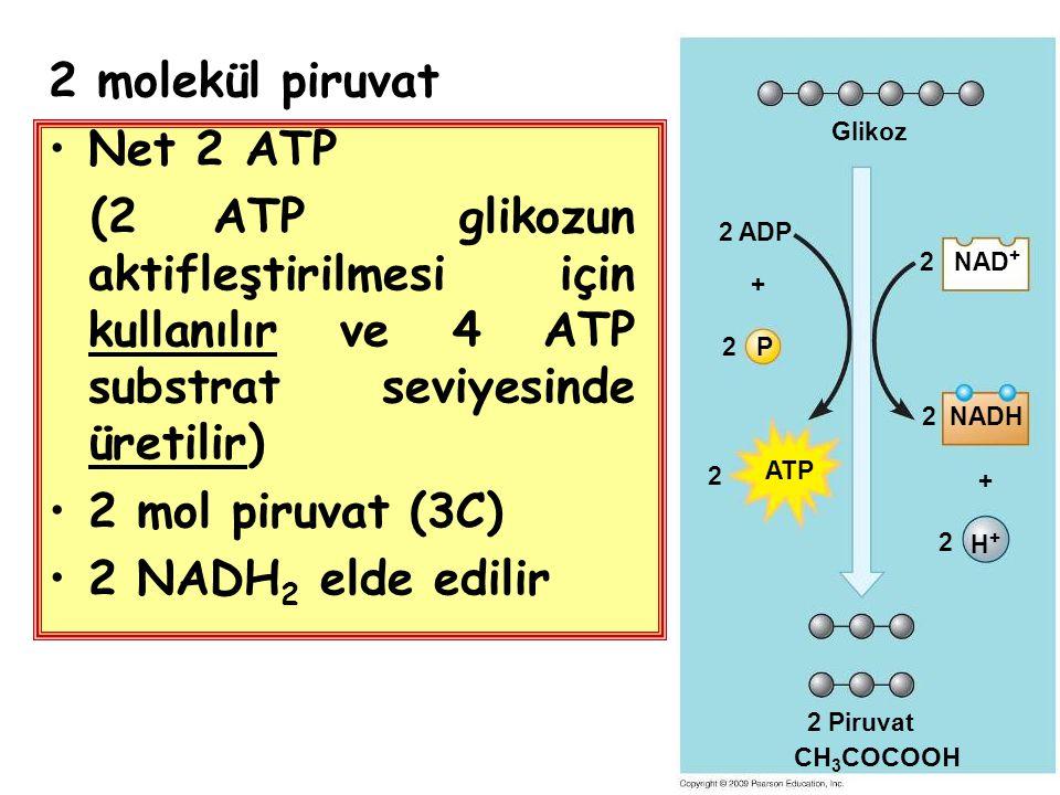 2 molekül piruvat Net 2 ATP