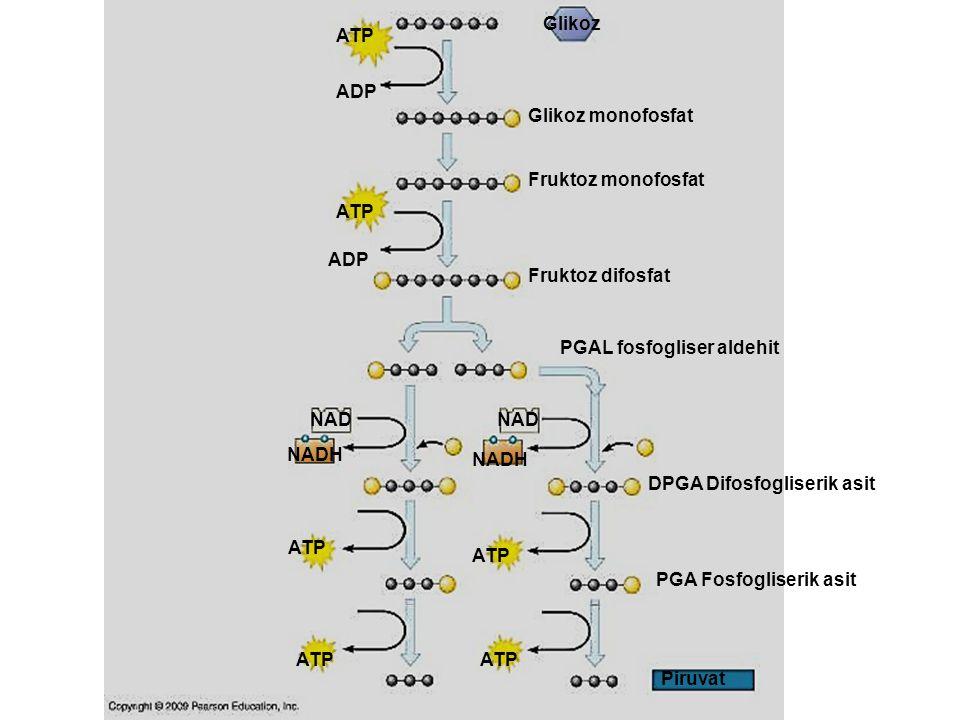 Glikoz ATP. ADP. Glikoz monofosfat. Fruktoz monofosfat. ATP. ADP. Fruktoz difosfat. PGAL fosfogliser aldehit.