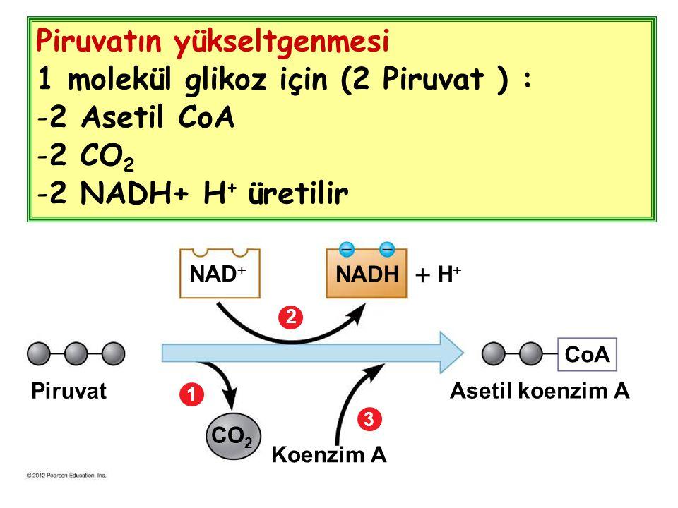 Piruvatın yükseltgenmesi 1 molekül glikoz için (2 Piruvat ) :