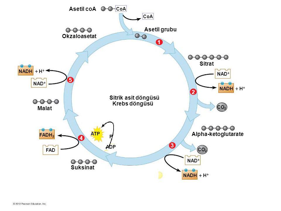 Asetil coA Asetil grubu Okzaloasetat 1 Sitrat 5 2 Sitrik asit döngüsü