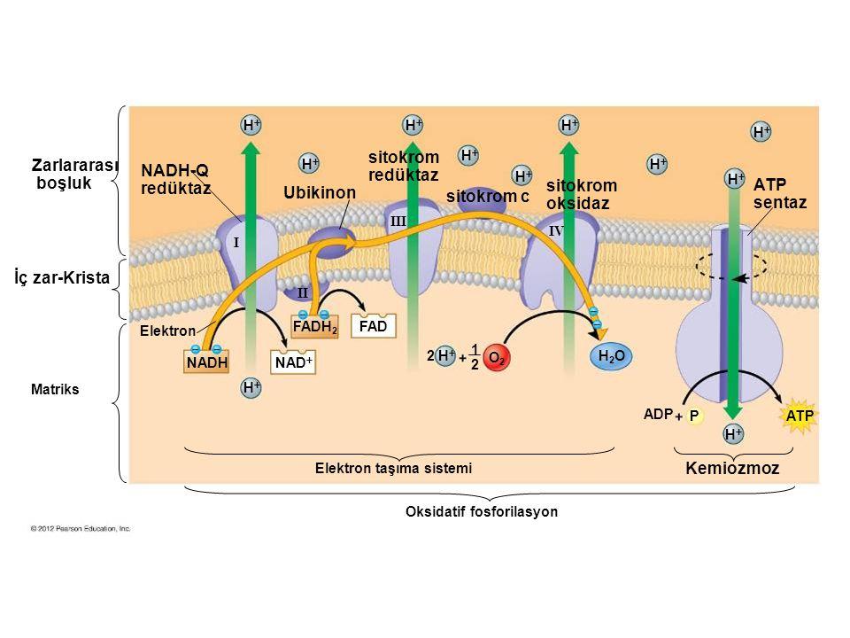 sitokrom redüktaz Zarlararası boşluk NADH-Q redüktaz sitokrom oksidaz