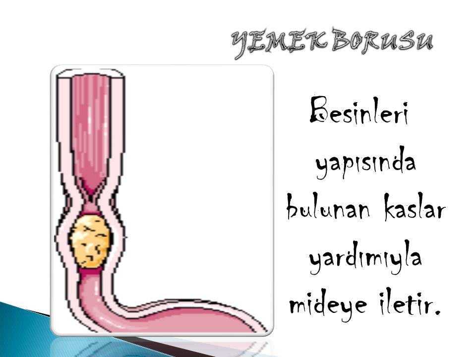 Besinleri yapısında bulunan kaslar yardımıyla mideye iletir.