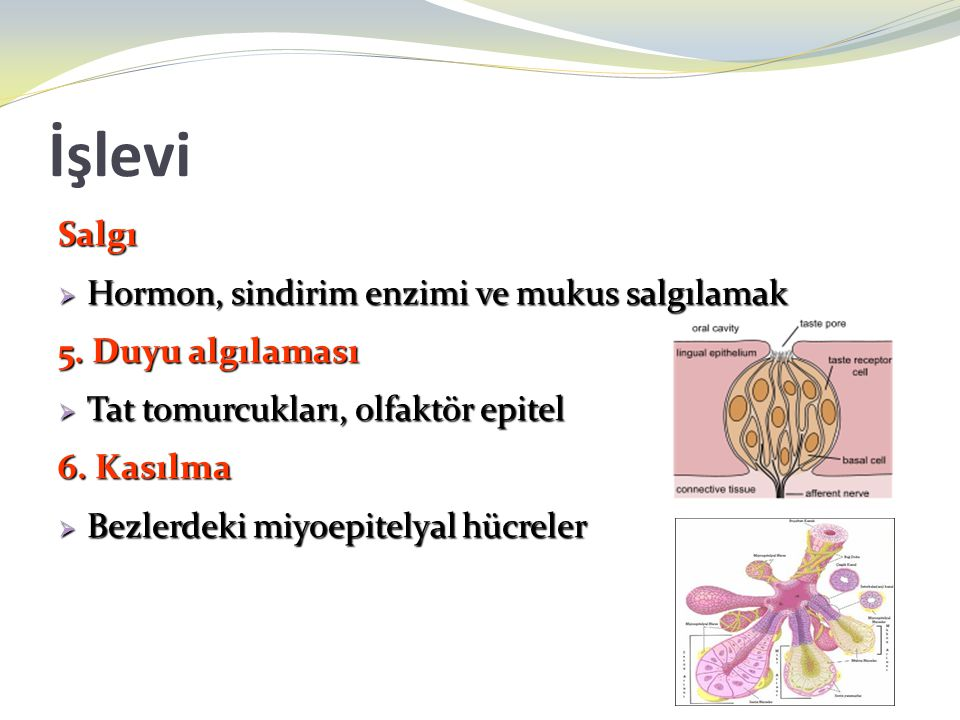 İşlevi Salgı Hormon, sindirim enzimi ve mukus salgılamak