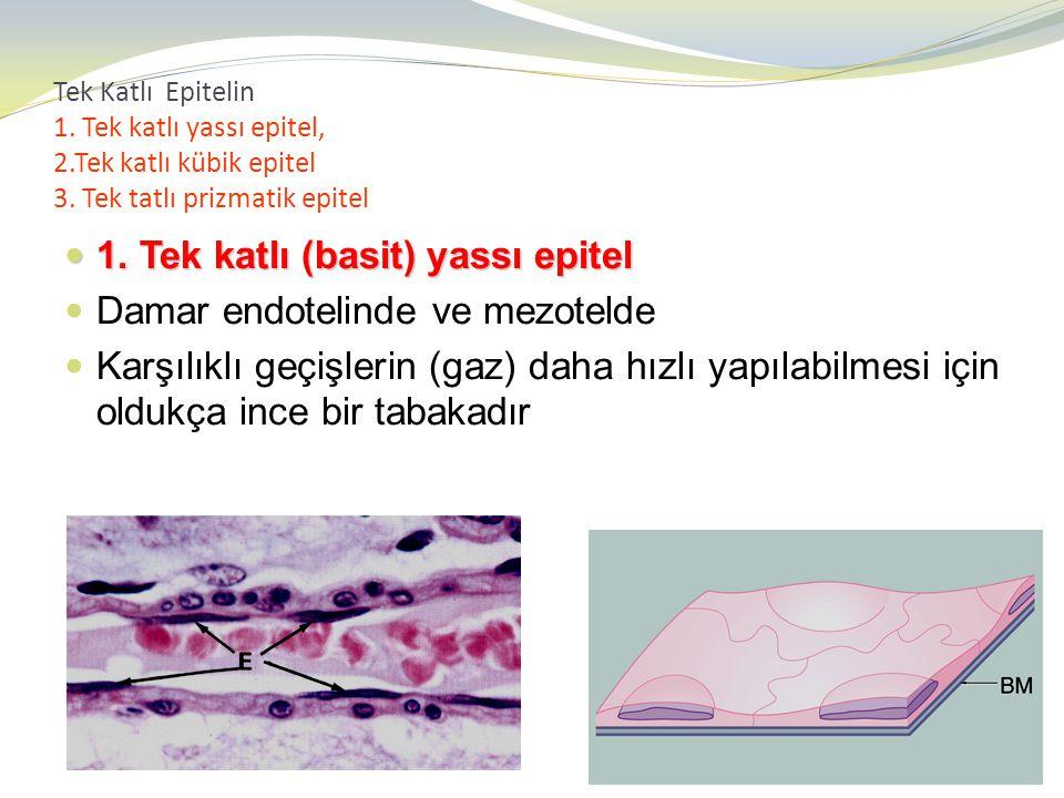 1. Tek katlı (basit) yassı epitel Damar endotelinde ve mezotelde