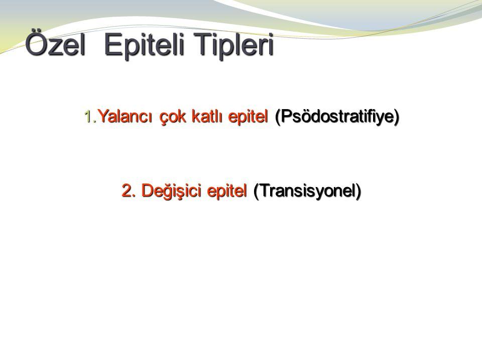 Özel Epiteli Tipleri Yalancı çok katlı epitel (Psödostratifiye)