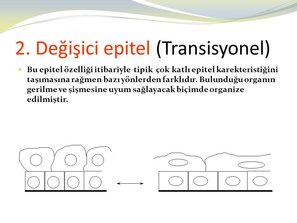 2. Değişici epitel (Transisyonel)