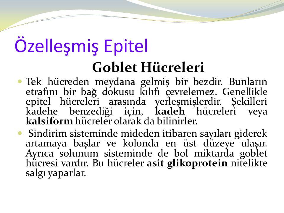 Özelleşmiş Epitel Goblet Hücreleri