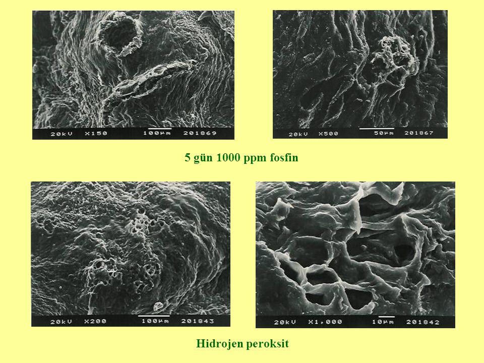 5 gün 1000 ppm fosfin Hidrojen peroksit