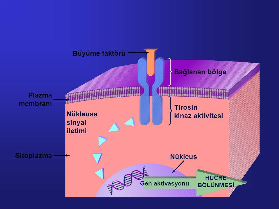 Büyüme faktörü Bağlanan bölge Plazma membranı Tirosin kinaz aktivitesi