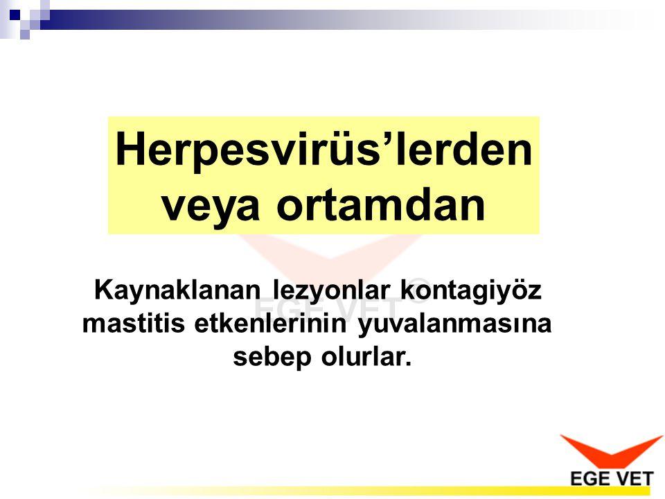 Herpesvirüs'lerden veya ortamdan