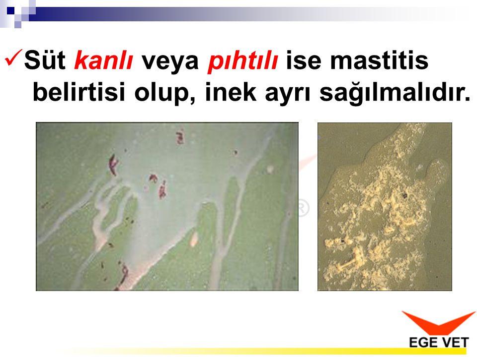 Süt kanlı veya pıhtılı ise mastitis belirtisi olup, inek ayrı sağılmalıdır.