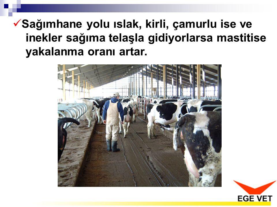 Sağımhane yolu ıslak, kirli, çamurlu ise ve inekler sağıma telaşla gidiyorlarsa mastitise yakalanma oranı artar.