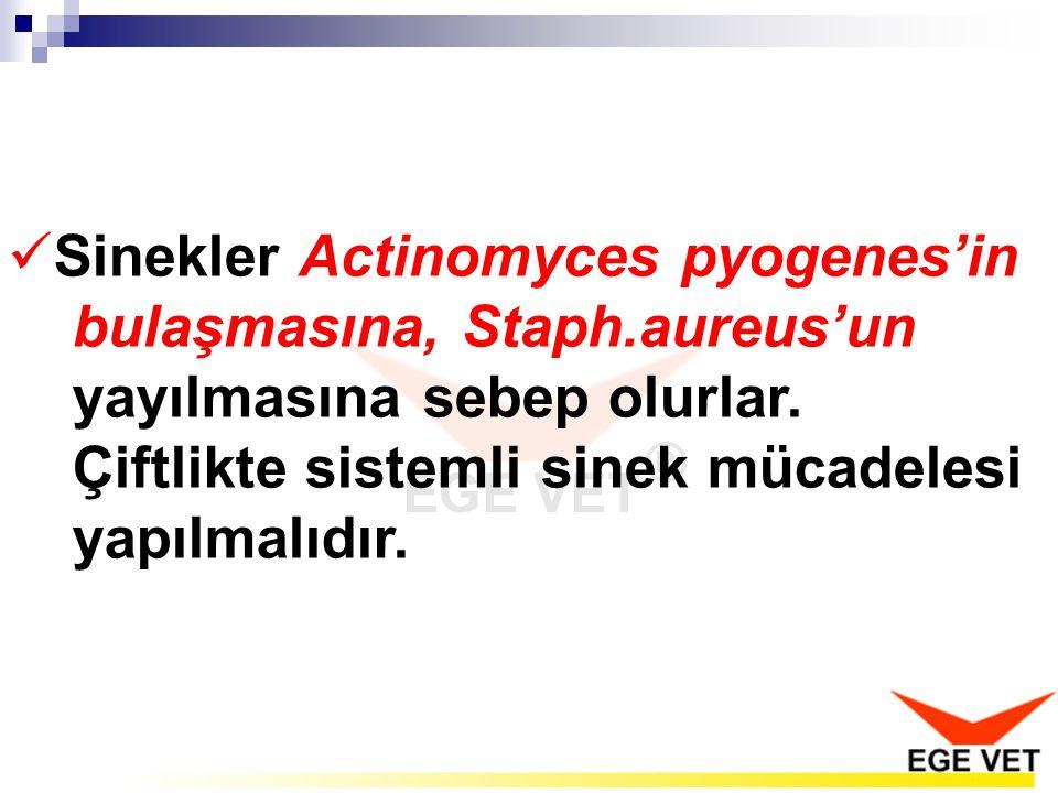 Sinekler Actinomyces pyogenes'in bulaşmasına, Staph