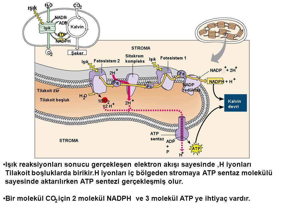 sayesinde aktarılırken ATP sentezi gerçekleşmiş olur.