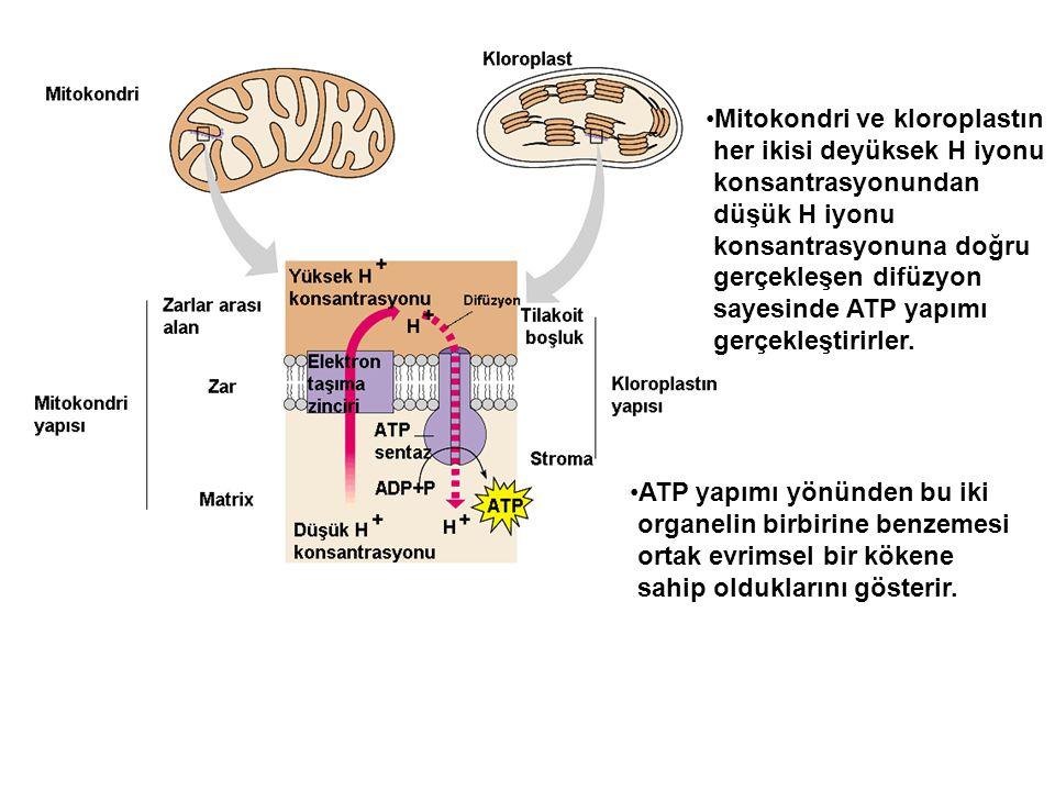 Mitokondri ve kloroplastın