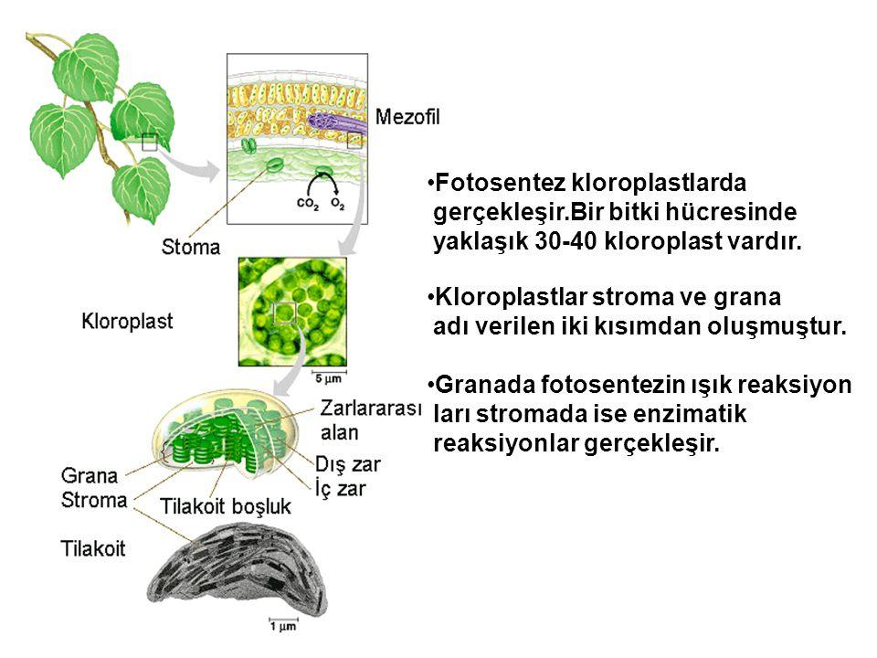 Fotosentez kloroplastlarda