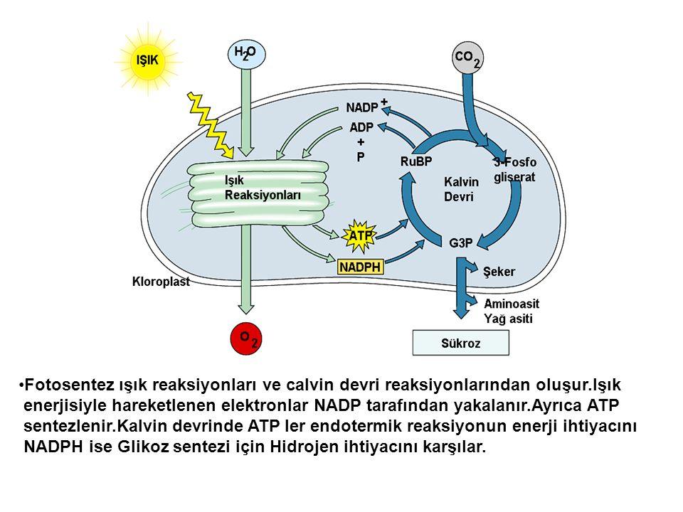 Fotosentez ışık reaksiyonları ve calvin devri reaksiyonlarından oluşur