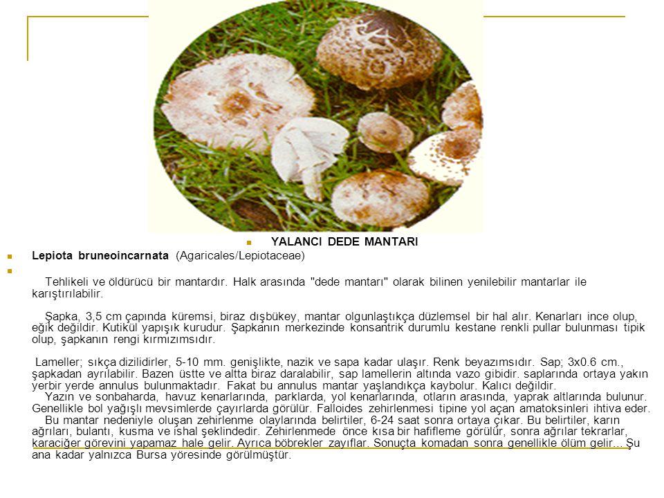 YALANCI DEDE MANTARI Lepiota bruneoincarnata (Agaricales/Lepiotaceae)