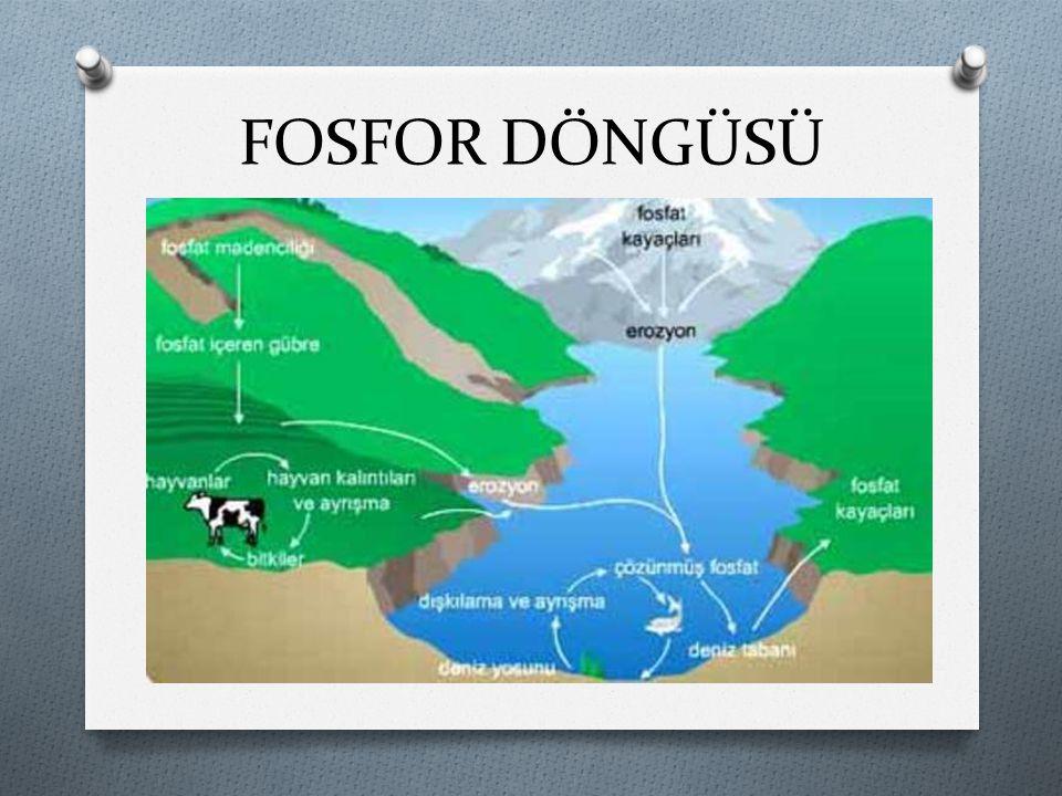 FOSFOR DÖNGÜSÜ Doğadaki fosfat kaynakları yer kabuğundaki fosfatlı kayalar ve denizlerdir.