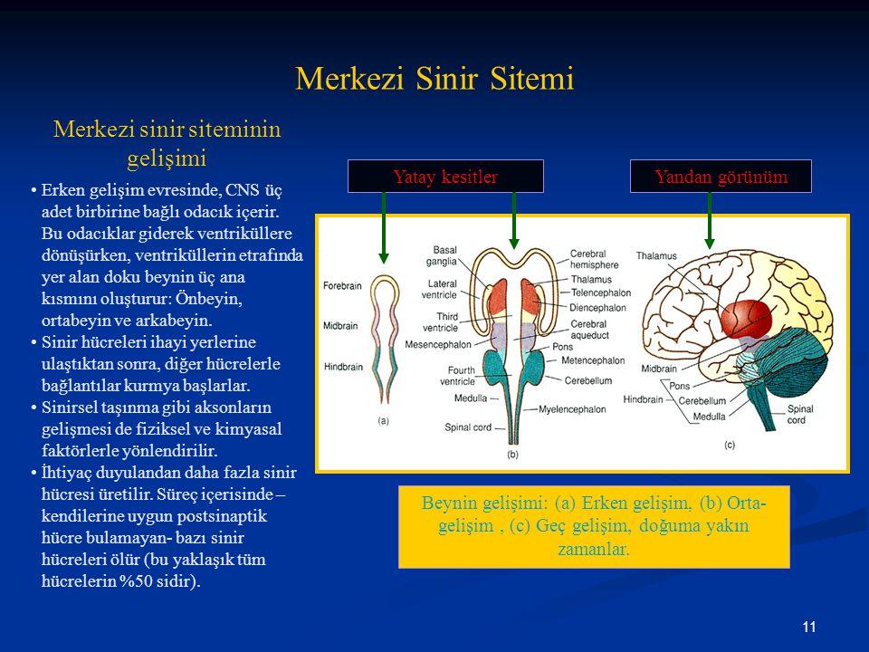 Merkezi sinir siteminin gelişimi
