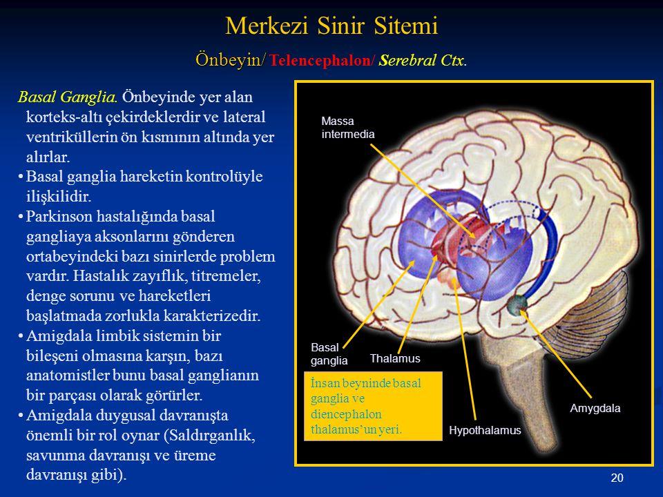 Önbeyin/ Telencephalon/ Serebral Ctx.