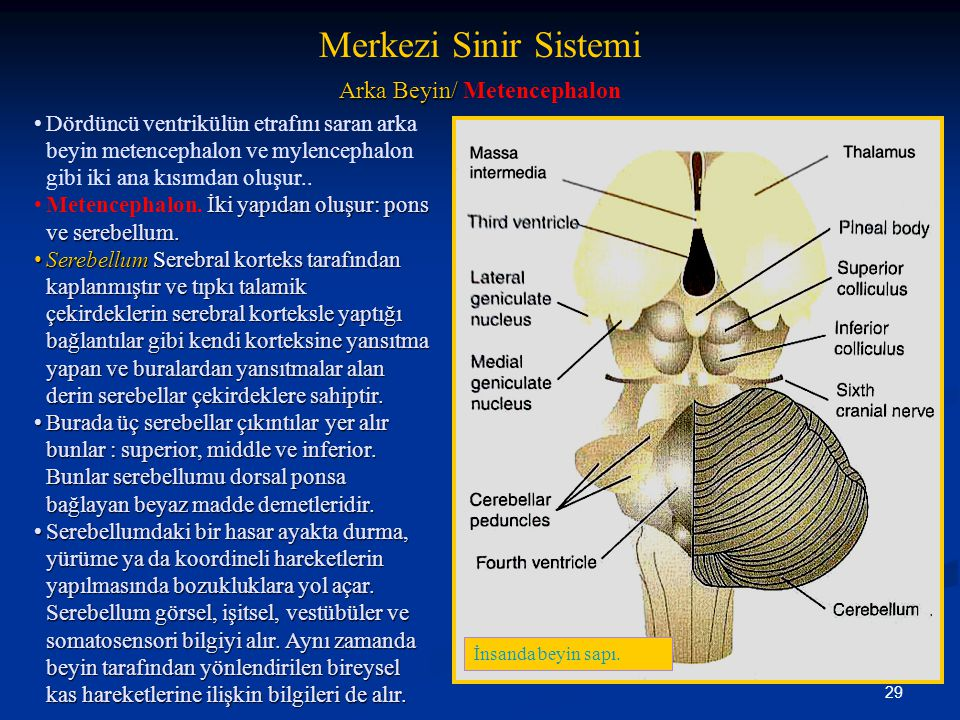 Arka Beyin/ Metencephalon