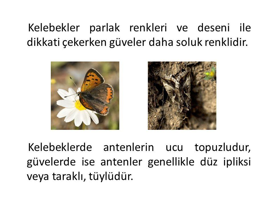 Kelebekler parlak renkleri ve deseni ile dikkati çekerken güveler daha soluk renklidir.
