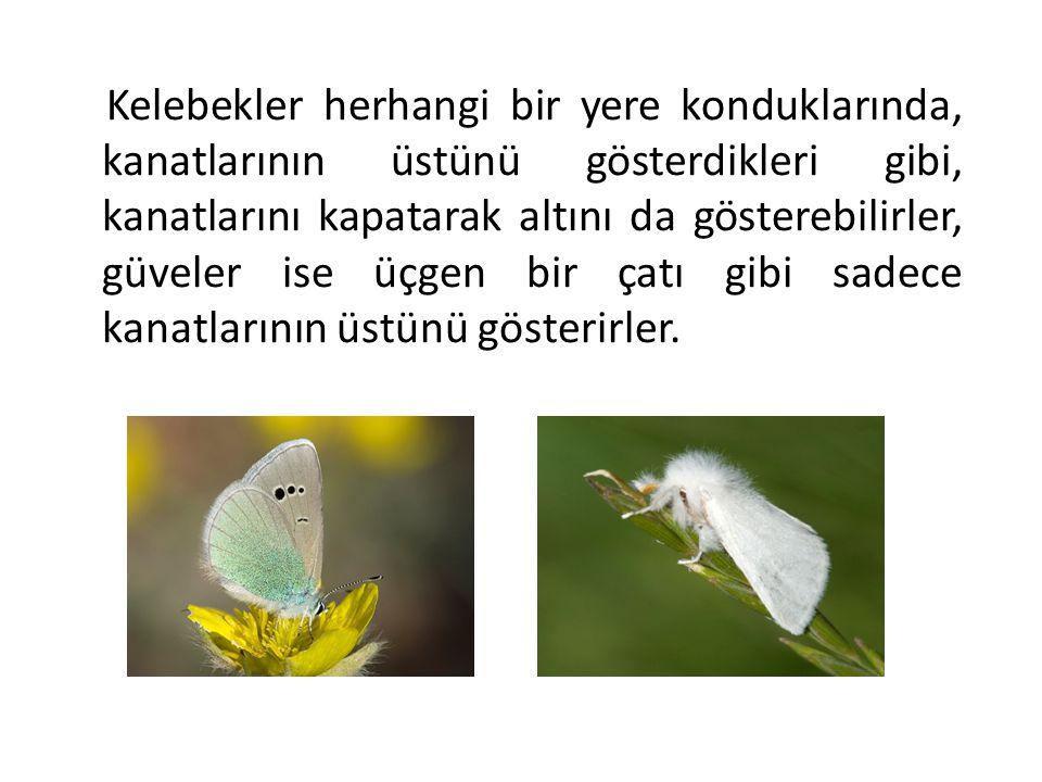 Kelebekler herhangi bir yere konduklarında, kanatlarının üstünü gösterdikleri gibi, kanatlarını kapatarak altını da gösterebilirler, güveler ise üçgen bir çatı gibi sadece kanatlarının üstünü gösterirler.