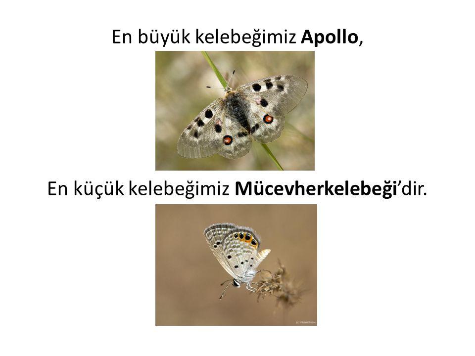 En büyük kelebeğimiz Apollo,