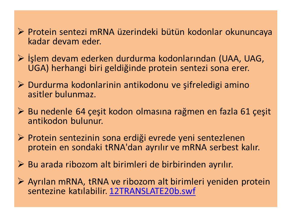 Protein sentezi mRNA üzerindeki bütün kodonlar okununcaya kadar devam eder.
