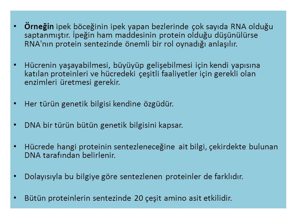 Örneğin ipek böceğinin ipek yapan bezlerinde çok sayıda RNA olduğu saptanmıştır. İpeğin ham maddesinin protein olduğu düşünülürse RNA nın protein sentezinde önemli bir rol oynadığı anlaşılır.