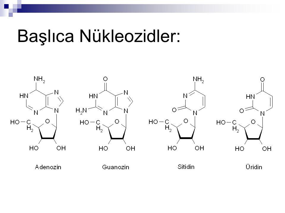 Başlıca Nükleozidler: