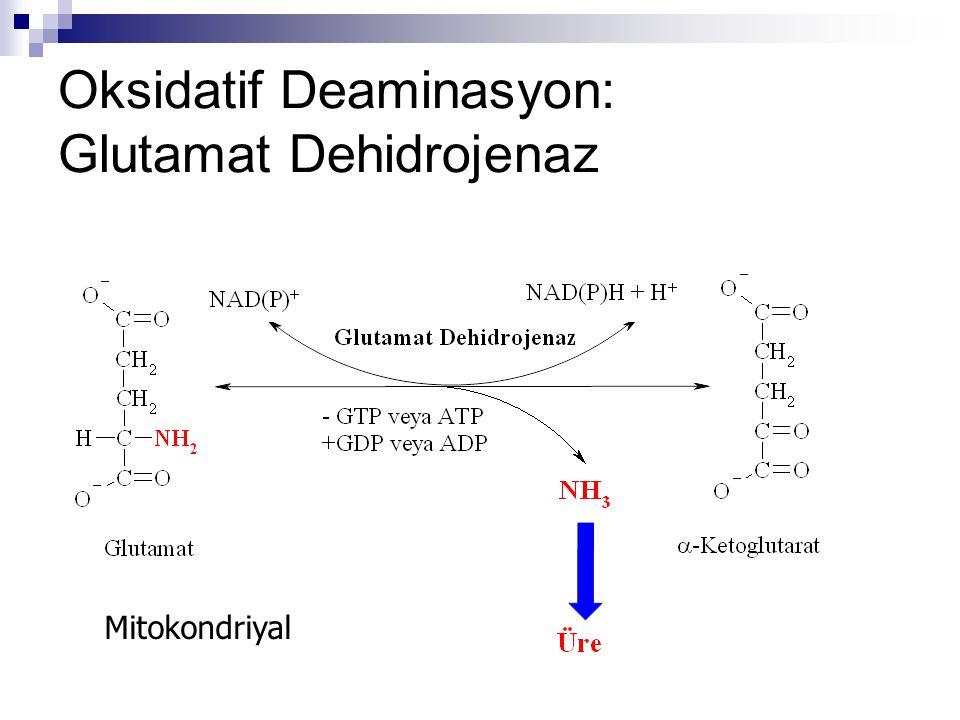 Oksidatif Deaminasyon: Glutamat Dehidrojenaz