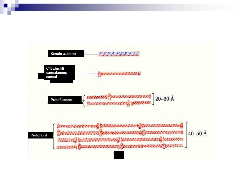 Protofibril Protofilament Çift zincirli sarmalanmış sarmal Keratin a-heliks