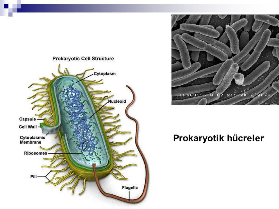 Prokaryotik hücreler