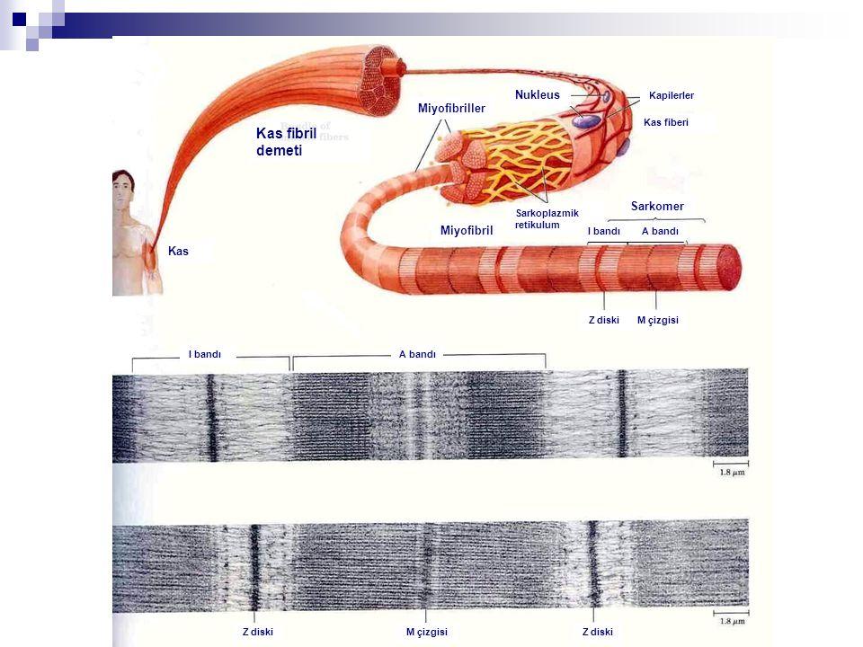 Kas fibril demeti Nukleus Miyofibriller Sarkomer Miyofibril Kas