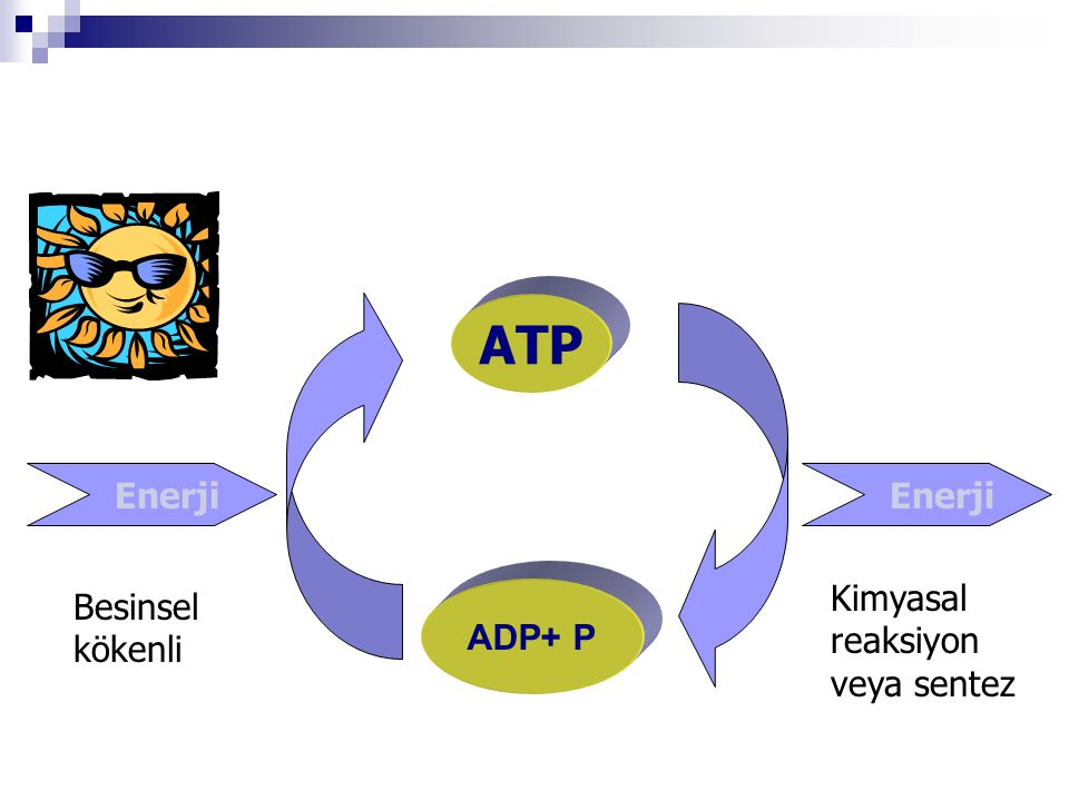 ATP Enerji Enerji Kimyasal reaksiyon veya sentez Besinsel kökenli
