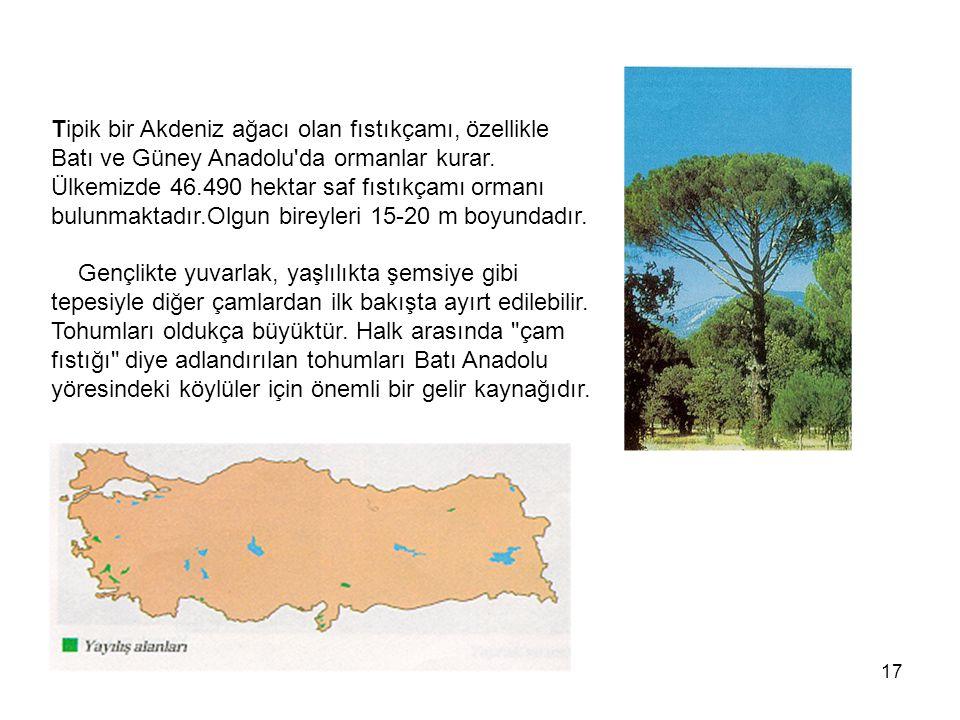 Tipik bir Akdeniz ağacı olan fıstıkçamı, özellikle Batı ve Güney Anadolu da ormanlar kurar.