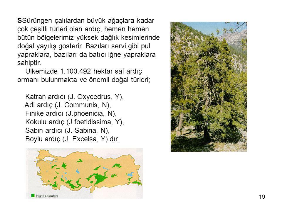 SSürüngen çalılardan büyük ağaçlara kadar çok çeşitli türleri olan ardıç, hemen hemen bütün bölgelerimiz yüksek dağlık kesimlerinde doğal yayılış gösterir.