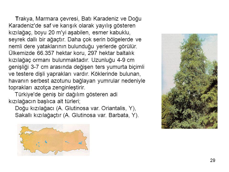Trakya, Marmara çevresi, Batı Karadeniz ve Doğu Karadeniz de saf ve karışık olarak yayılış gösteren kızılağaç, boyu 20 m yi aşabilen, esmer kabuklu, seyrek dallı bir ağaçtır.
