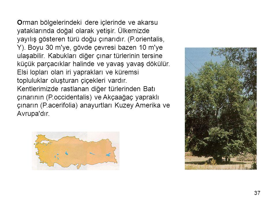 Orman bölgelerindeki dere içlerinde ve akarsu yataklarında doğal olarak yetişir.