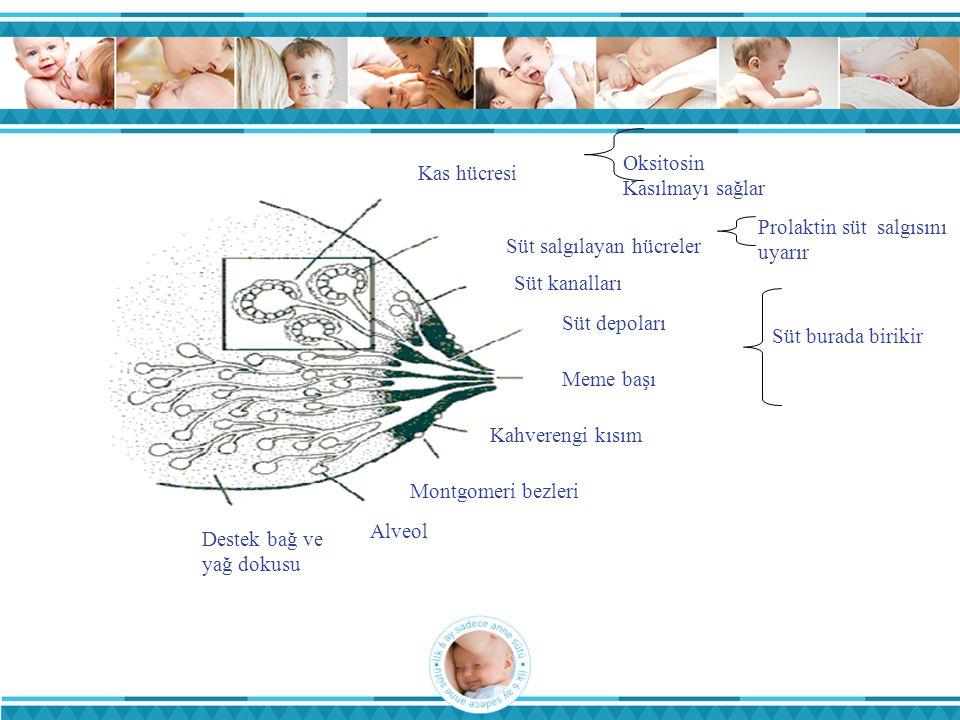 Kas hücresi Oksitosin. Kasılmayı sağlar. Süt salgılayan hücreler. Prolaktin süt salgısını uyarır.