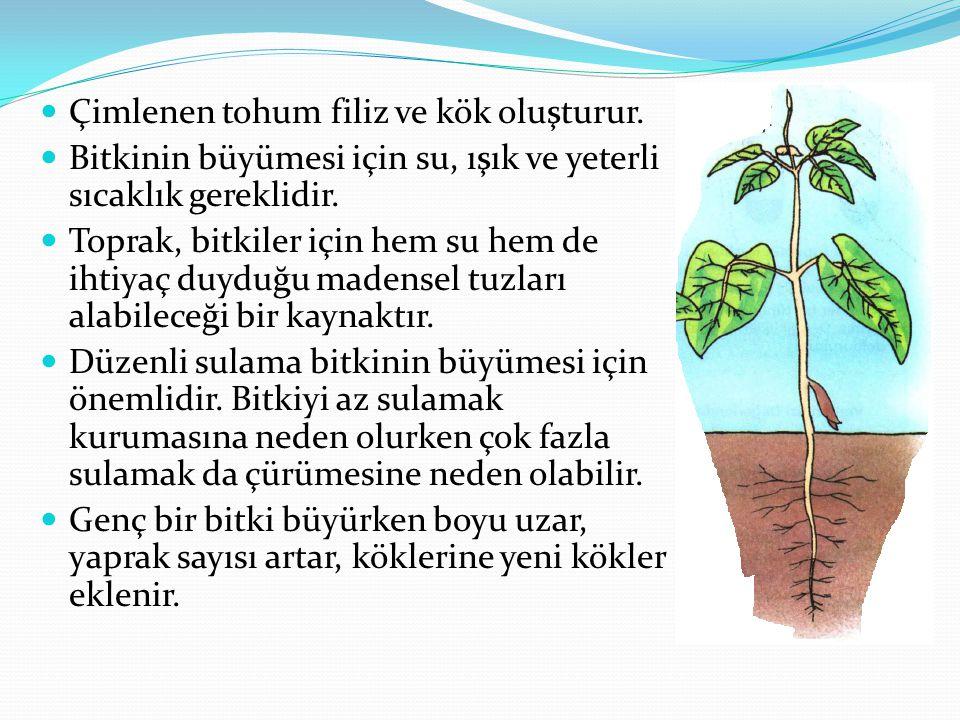 Çimlenen tohum filiz ve kök oluşturur.