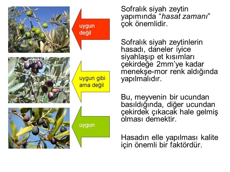 Sofralık siyah zeytin yapımında hasat zamanı çok önemlidir.