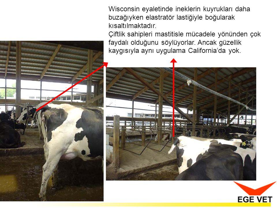 Wisconsin eyaletinde ineklerin kuyrukları daha buzağıyken elastratör lastiğiyle boğularak kısaltılmaktadır.