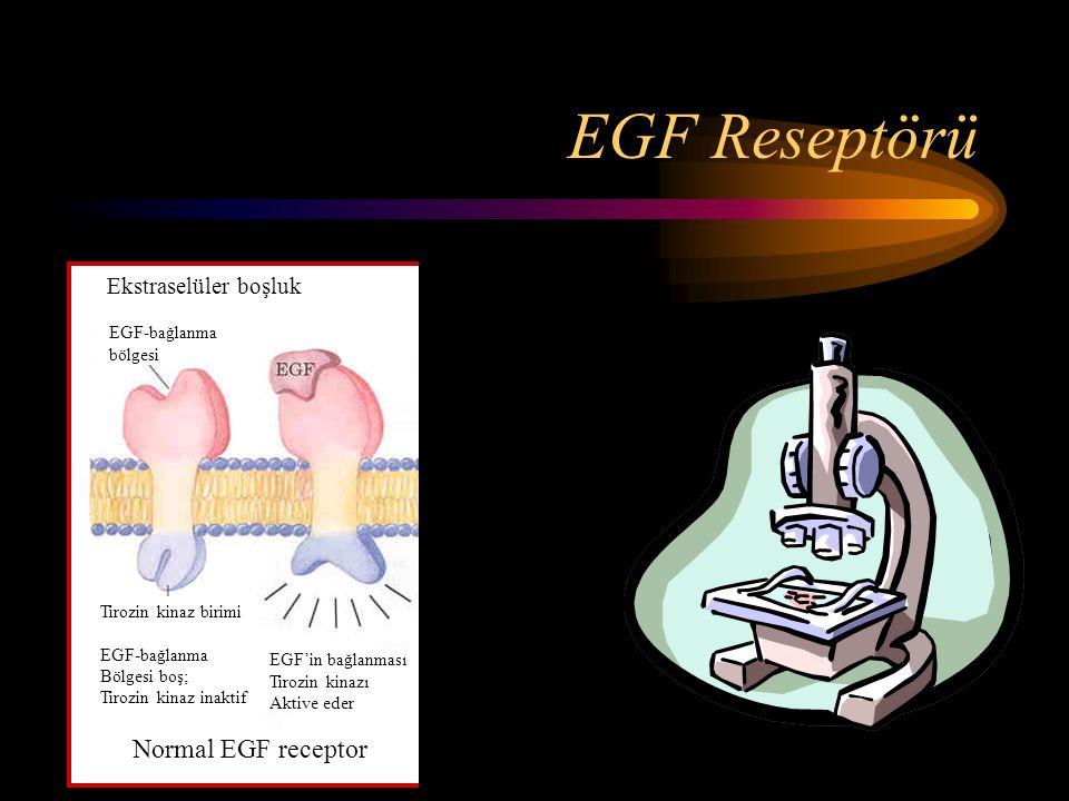EGF Reseptörü Normal EGF receptor Ekstraselüler boşluk ErbB proteini