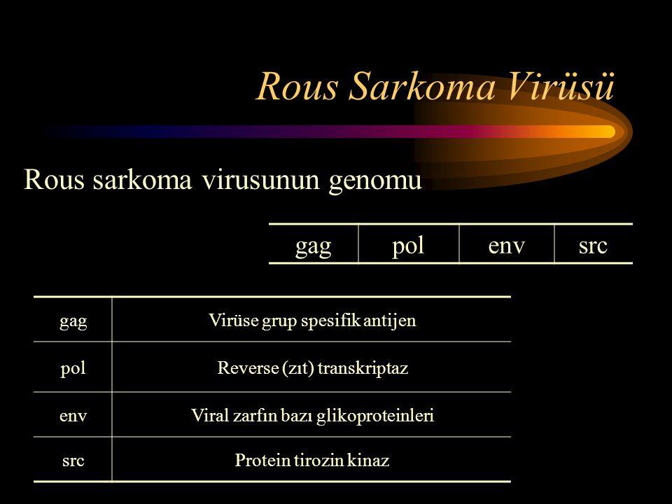 Rous Sarkoma Virüsü Rous sarkoma virusunun genomu gag pol env src gag